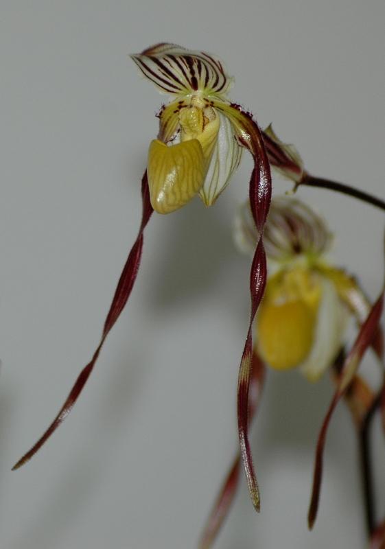 2021-03-30 Paphiopedilum philippinense var. roebbelenii 11 - Kopie.JPG