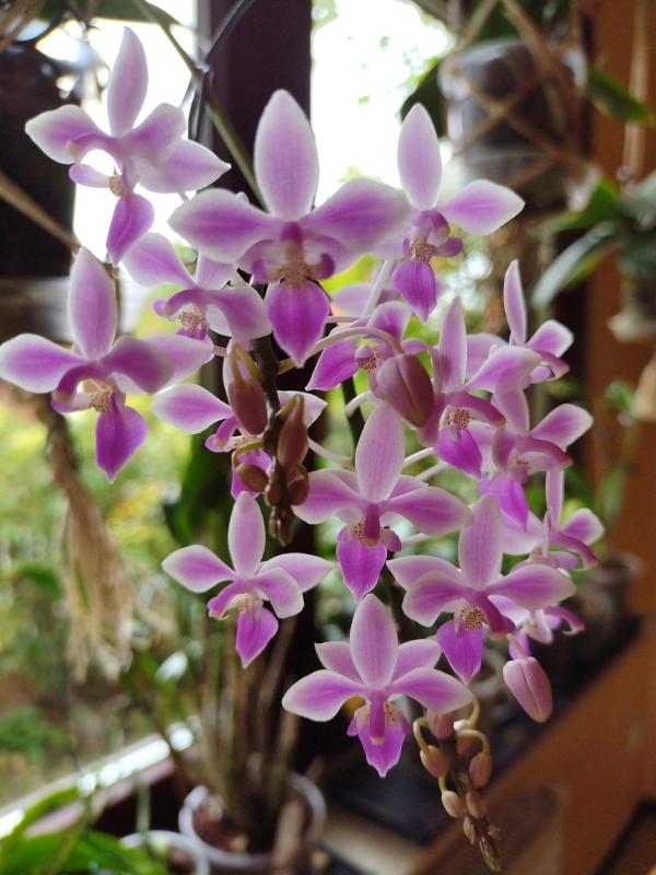 2021-09-29 Phalaenopsis equestris 003 - Kopie.jpg