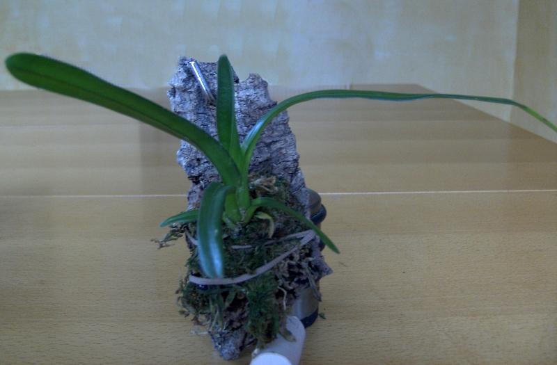21.09.2008Jungpflanzen 011 Cymb. finlaysonianum - Kopie.jpg
