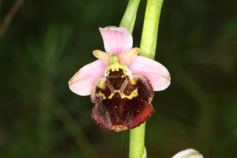2_Ophrys28.jpg