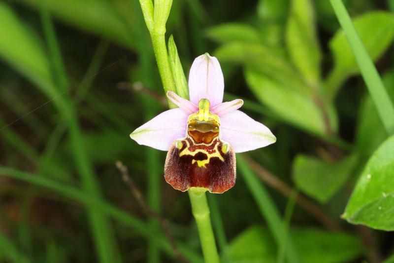 2_Ophrys8.jpg