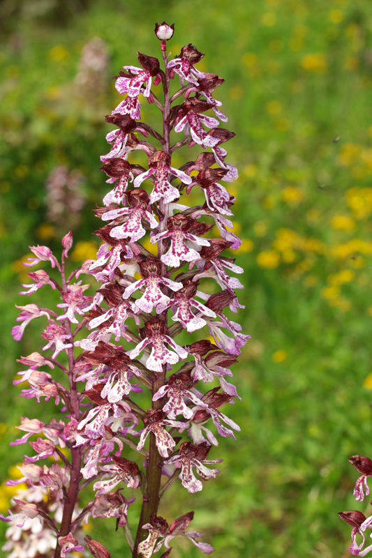 2_Orchis_purpurea2.jpg