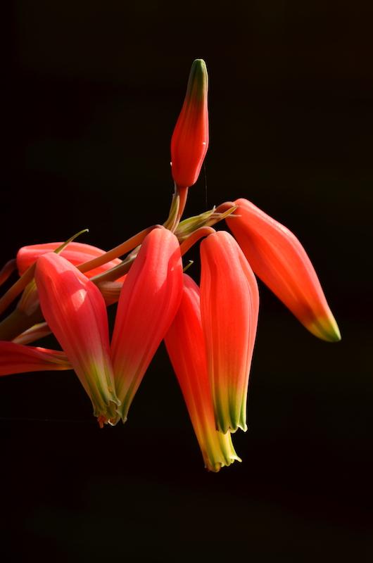 Aloe humilis.JPG