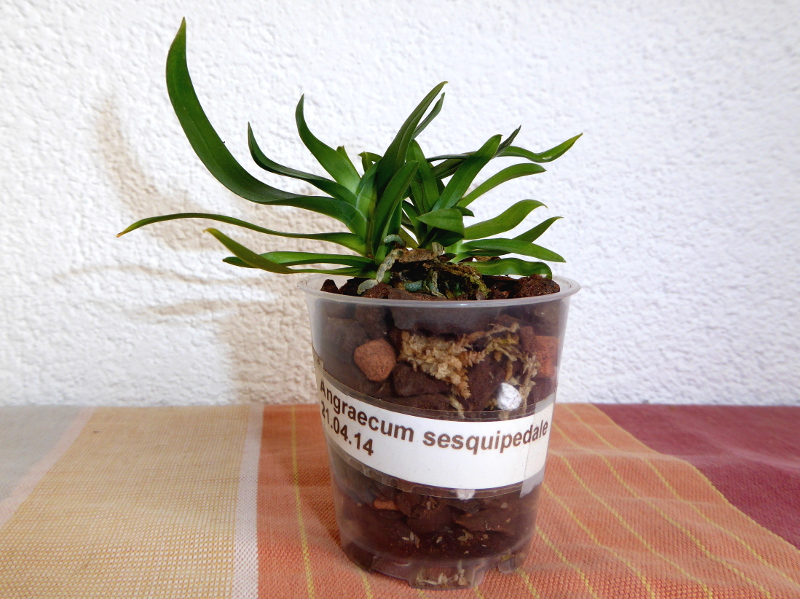 Angraecum sesquipedale Juli 2015 Anja Pflanze 3cm hoch.JPG
