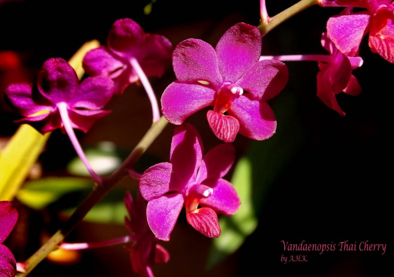 Ascovandoritis Thai Cherry.JPG