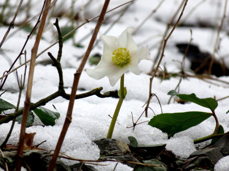 Blume im Schnee.JPG