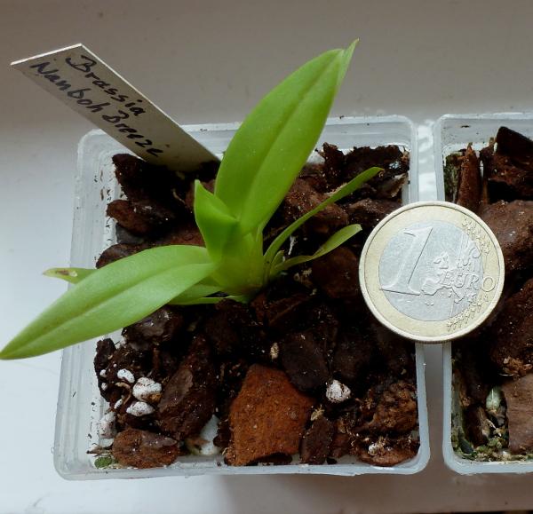 Brassia Nanboh Breeze  Mai 2014 600.JPG