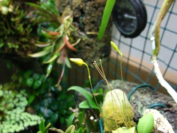 Bulbophyllum aestivale.jpg