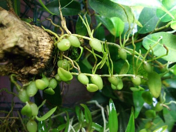 Bulbophyllum welche 2013.jpg