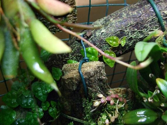 Bulbophyllum welche.jpg