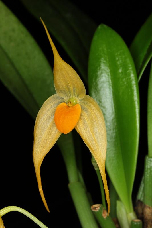 Bulbophyllum_ankylochele.jpg