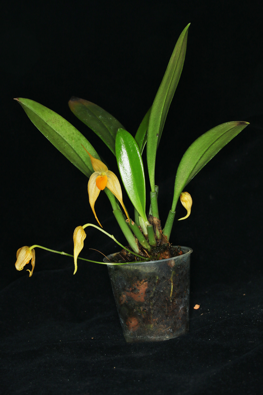 Bulbophyllum_ankylochele2.jpg
