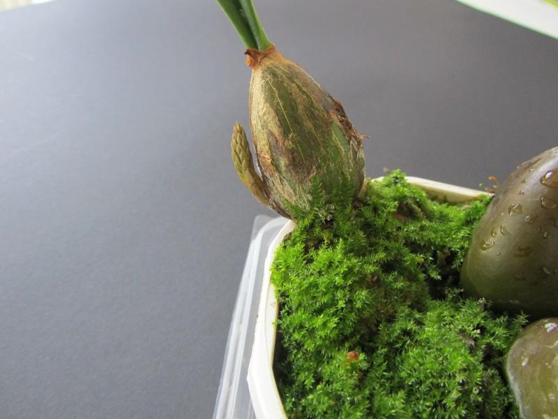 Bulbophyllum_morphologorum_2350_1.JPG
