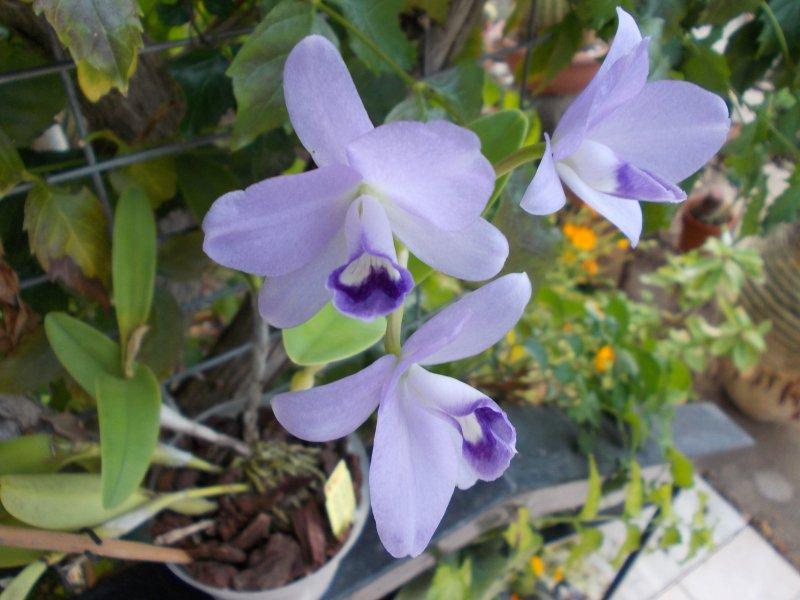 Cattleya bowringiana var.coerulea.JPG