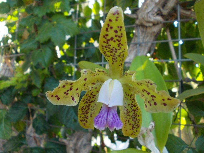 Cattleya guttata var. coerulea.JPG