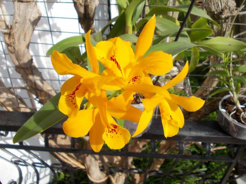 Cattleya LC Gold Digger.JPG
