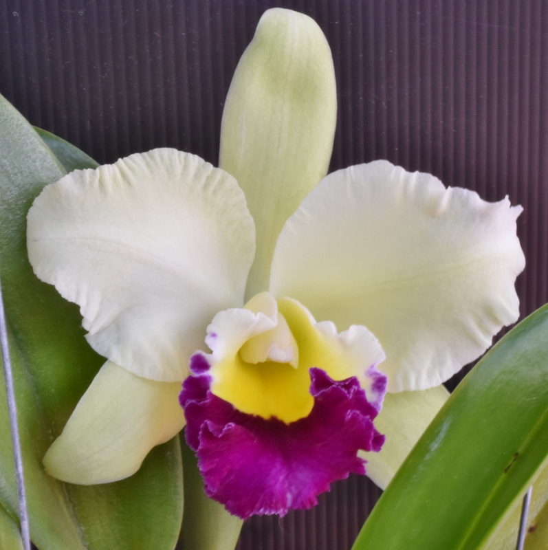 cattleya pathum green.JPG