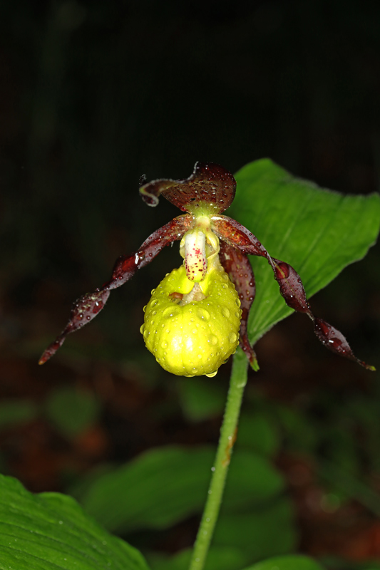 Cypripedium_calceolus3.jpg
