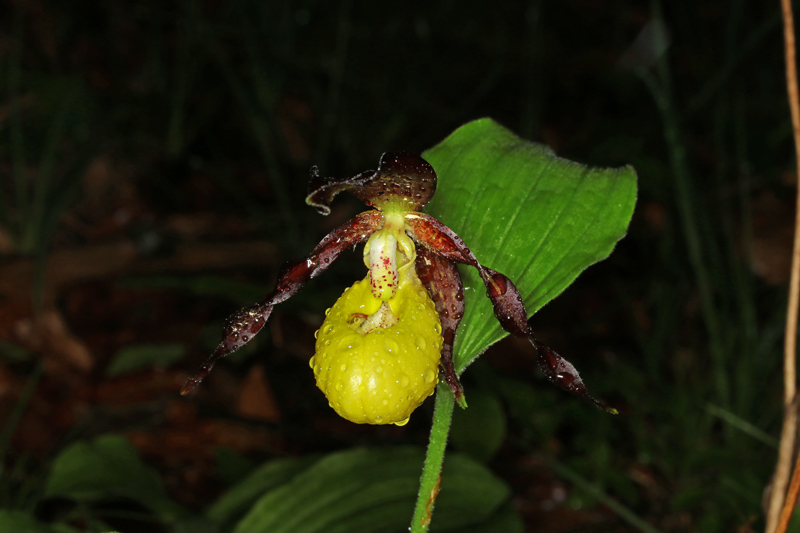 Cypripedium_calceolus4.jpg