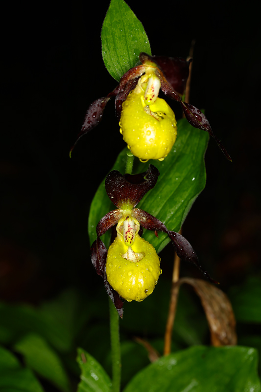 Cypripedium_calceolus5.jpg