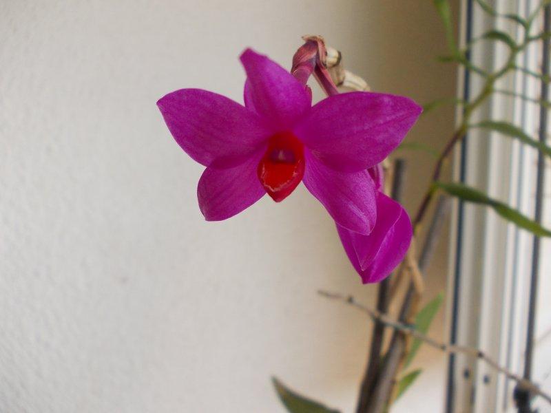 Dendrobium aphanochilum (06.09.18).JPG