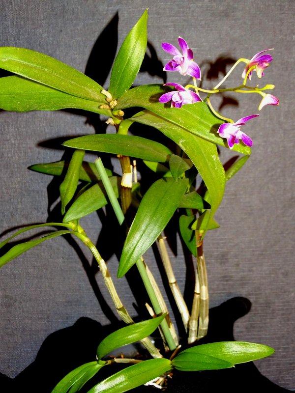 Dendrobium Bery 2016.JPG