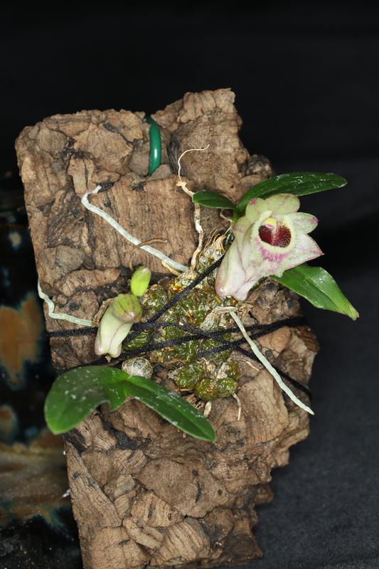 Dendrobium-hekouense2.jpg