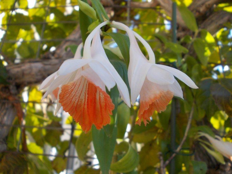 Dendrobium jaintianum.JPG