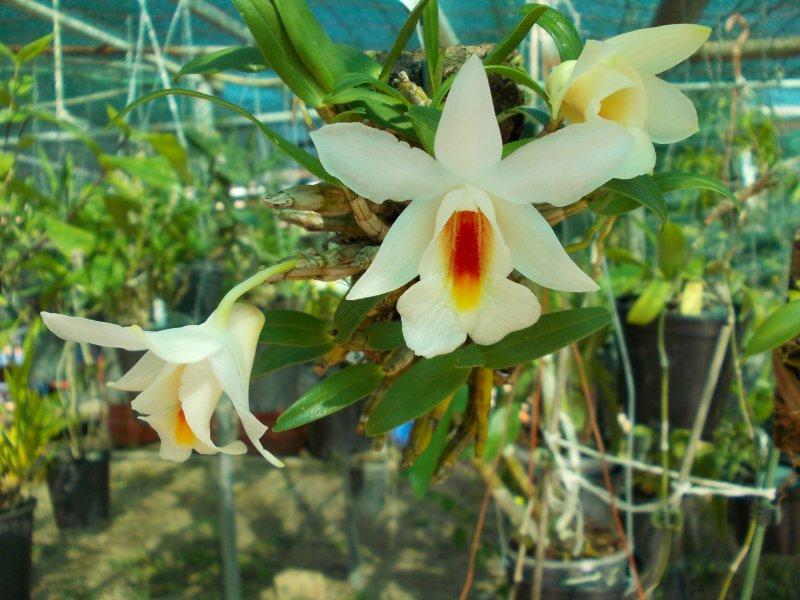 Dendrobium margaritaceum.JPG