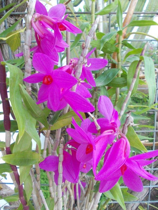 Dendrobium sulawesii.JPG