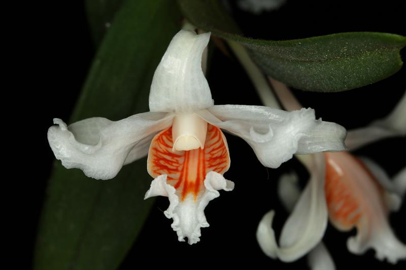 Denfrobium_orchraceum.jpg