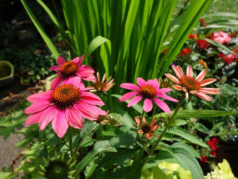 DSC06382Echinaceae.jpg