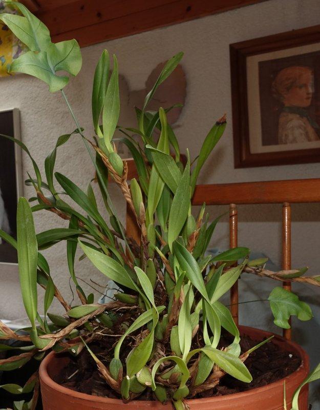neukauf maxillaria variabilis seite 4 orchideenforum. Black Bedroom Furniture Sets. Home Design Ideas