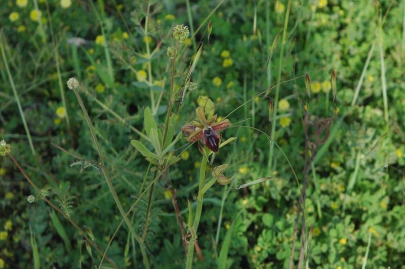 DSC_0066 Ophrys mammosa - Kopie.JPG