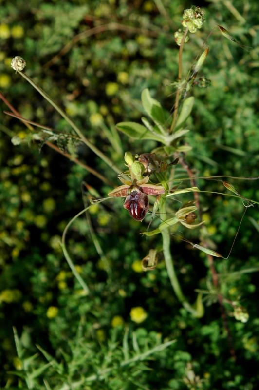 DSC_0067 Ophrys mammosa - Kopie.JPG