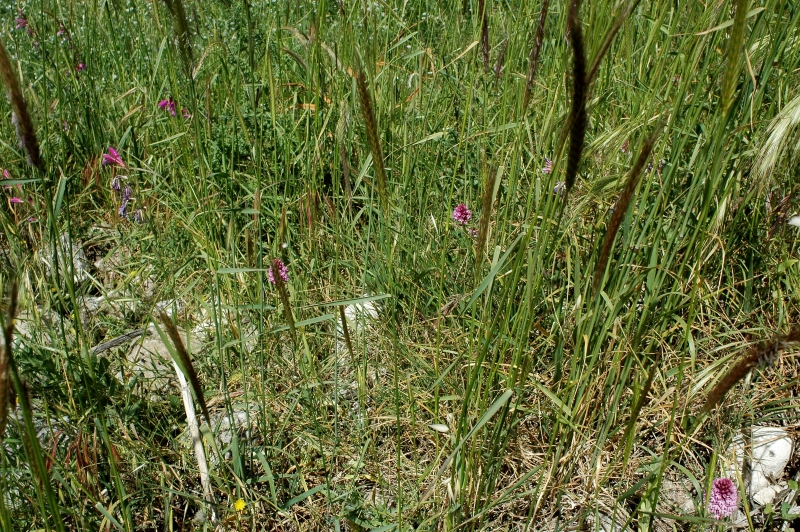 DSC_0089 Anacamptis pyramidalis mit Gladiolus illyricus - Kopie.JPG