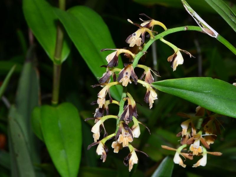 Epidendrum ferrugineum.jpg