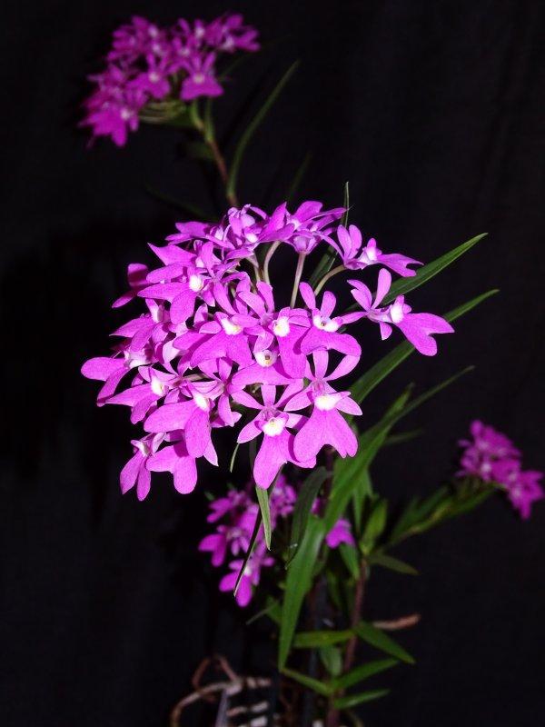 Epidendrum Geburtstag 2021.JPG