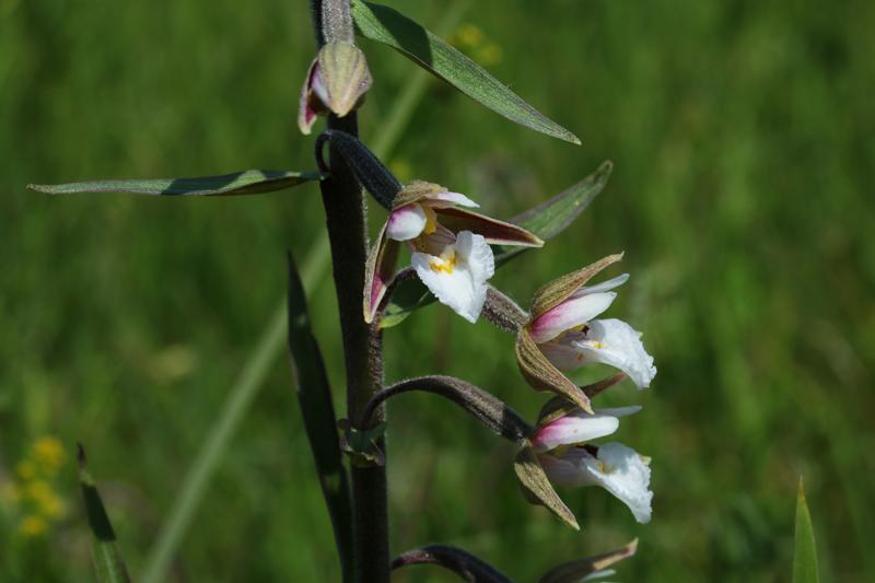 Epipactis_palustris.jpg