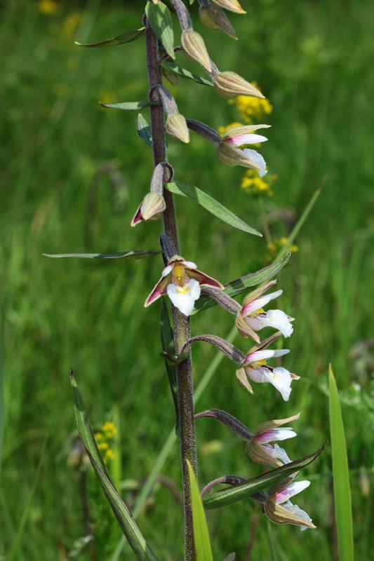 Epipactis_palustris2.jpg