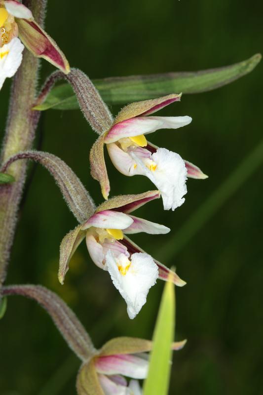 Epipactis_palustris3.jpg
