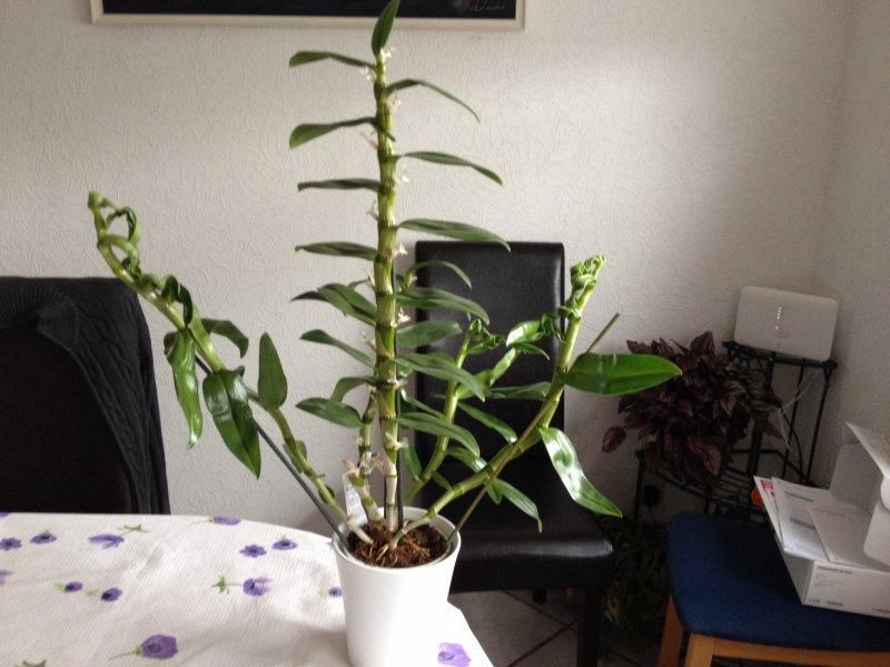 dendrobium nobile fragen zur pflege orchideenforum. Black Bedroom Furniture Sets. Home Design Ideas