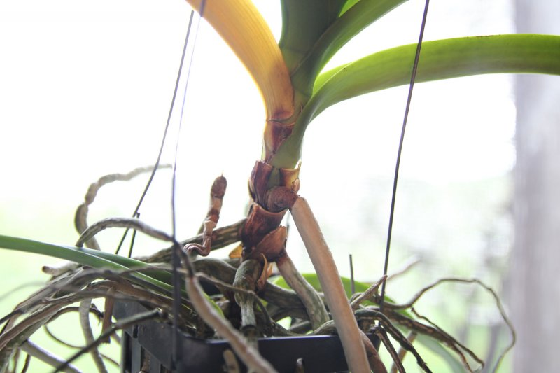 orchidee vanda krankheiten