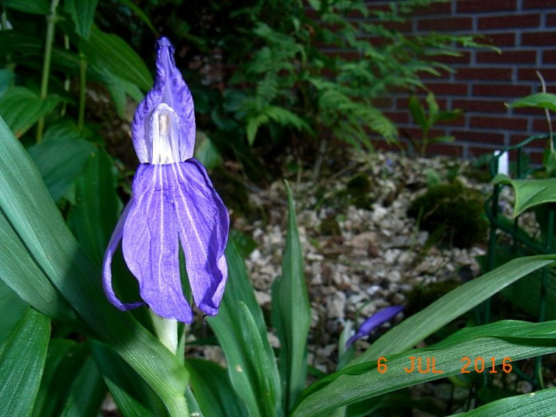 ingwer orchidee 2.jpg