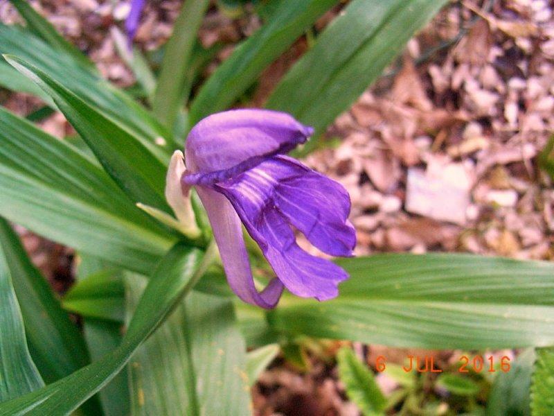 ingwer orchidee.jpg