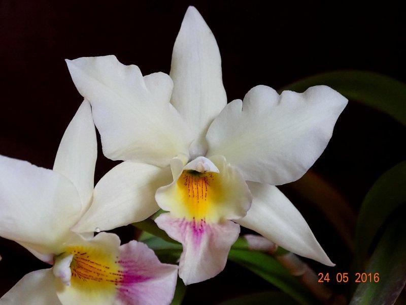Iwanagara Apple blossom (2).JPG