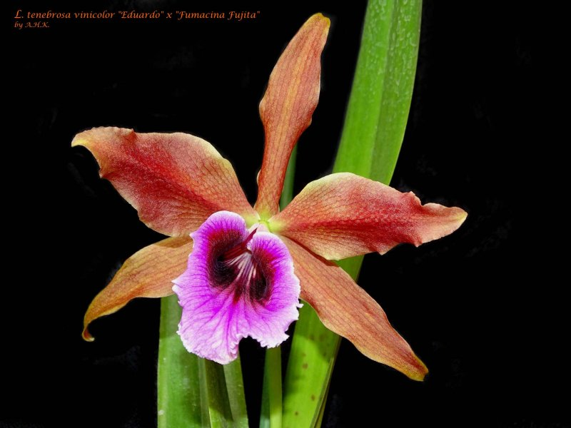 L. tenebrosa 02-17-2.JPG