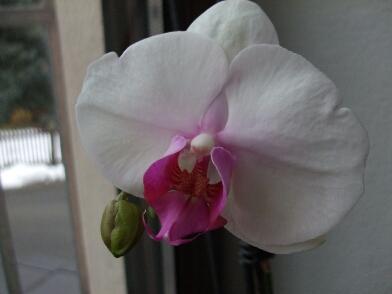 Maerz 2013 Phalaenopsis welche.jpg