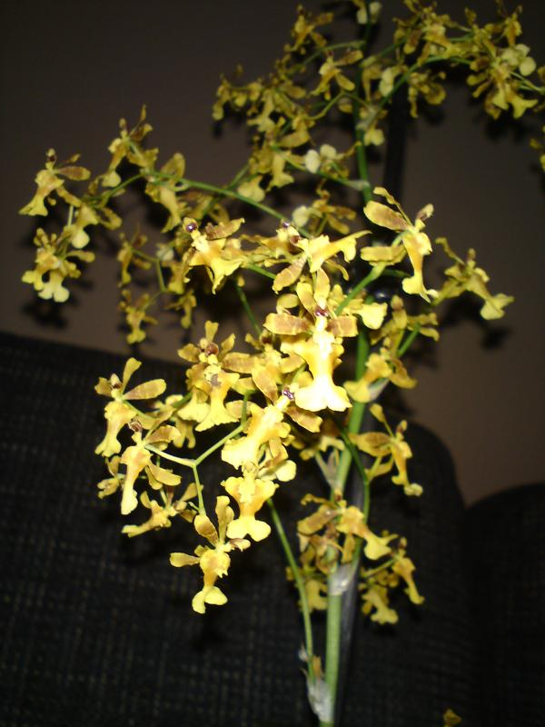 Oncidium fragrancia Sweet Honey 2013 (2).jpg