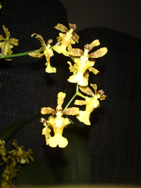 Oncidium fragrancia Sweet Honey 2013 (3).jpg